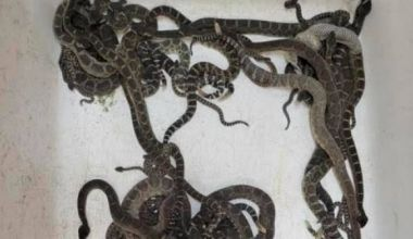 Nearly 90 tangled rattlesnakes removed from beneath woman's house