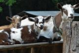 American woman sues for paternity test on Nigerian goats