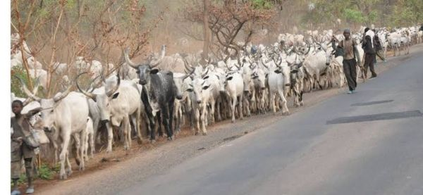 Miyetti Allah threatens to cut off supply of cattle to southern Nigeria