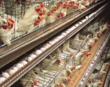 350,000 Ogun poultry farmers run bankrupt as business collapses